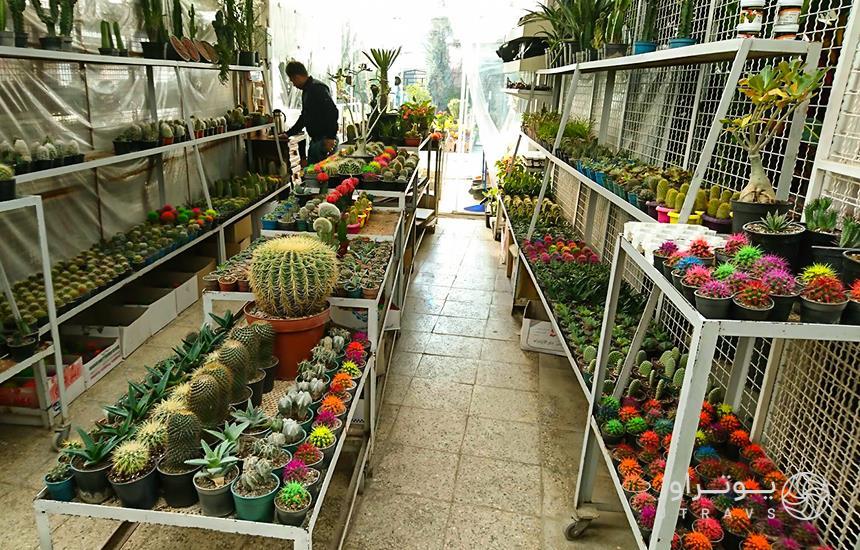 Mahallati Flower Market colorful cacti